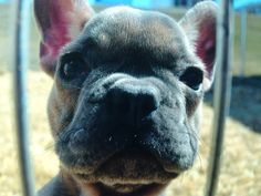 Blue fawn Frenchie Blue Fawn French Bulldog, Dogs, Animals, Animales, Animaux, Pet Dogs, Doggies, Animal, Animais