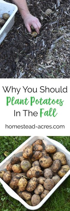 Planting Potatoes. How to plant potatoes in the fall. Save time and get a better harvest of potatoes next summer. #gardening #growingpotatoes http://www.homestead-acres.com/planting-potatoes-in-the-fall/?utm_campaign=coschedule&utm_source=pinterest&utm_medium=Kim%20Mills%20%7C%20Homestead%20Acres%20%7C%20Homeschooling%20%2B%20Homesteading%20Tips&utm_content=Planting%20Potatoes%3A%20How%20To%20Plant%20Potatoes%20In%20The%20Fall
