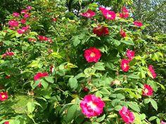 Valamon ruusu