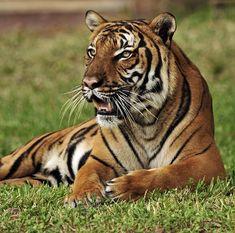 Big Bengal Tiger A Beautiful Animal Pet Tiger, Bengal Tiger, Animals Beautiful, Cute Animals, Wild Animals, Wild Cat Species, Big Cats, Animal Drawings, Mammals