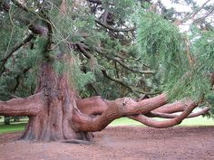 Beautiful old Sequoia Tree - Have a seat and ponder nature. All Nature, Nature Tree, Amazing Nature, Trees And Shrubs, Trees To Plant, Weird Trees, Unique Trees, Old Trees, Big Tree