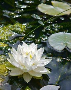 Lily pads and lotus blossoms, my favorites Water Flowers, Beautiful Flowers, Lilies Flowers, Flowers Nature, Pond Life, Lily Pond, Aquatic Plants, Mother Nature, Planting Flowers
