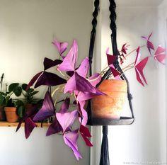 Oxalis triangularis en suspension : une plante d'intérieur très décorative.