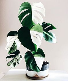 Houseplants You Can Actually Afford - That Planty Life Houseplants You Can Actually Afford - That Planty Life Amazing leaf of Monstera borsigiana variegata! Phot XL Monstera Deliciosa Albo Variegata Plant in Pot – The Philodendron Guru (