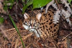 Searching for wild cats in Borneo and scaring away poachers