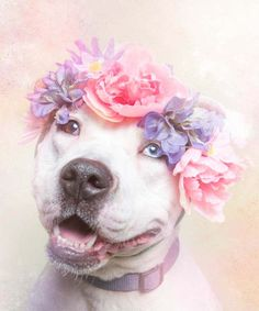 """11 Pit Bulls Who Are Gentle Hippies At Heart. Photographer Sophie Gamand created the """"Flower Power, Pit Bulls of the Revolution"""" photo series to bring awareness to an often misunderstood breed. Pit Bulls, Flower Power, Pitbull Terrier, Dogs Pitbull, Terrier Dogs, Terrier Mix, I Love Dogs, Cute Dogs, Animal Rescue"""