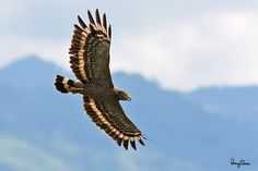 Philippine Serpent-Eagle (Spilornis holospilus, a Philippine endemic) Habitat – Forest from lowlands to over 2000 m