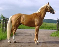 He looks almost exactly my palomino Tenn. Walking Horse. ~  Kinsky- 40% of these horses have coats in various shades of gold. It is one of the rarest breeds in the world, with less than 1,000 surviving worldwide; at one time, they were the most prominent breed in the Czech Republic, their origin.