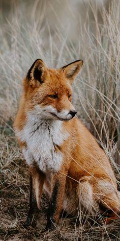 Outdoor, grassland, predator, Fox, wallpaper - New Sites Cute Baby Animals, Animals And Pets, Funny Animals, Fox Pictures, Pet Fox, Animal Wallpaper, Wildlife Wallpaper, Dog Wallpaper, Fox Art