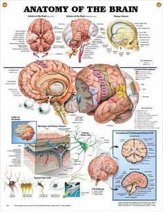 Brain Anatomy, Anatomy And Physiology, Anatomy Study, Human Anatomy Chart, Medical Anatomy, Body Anatomy, Brain Poster, Poster Wall, Poster Prints