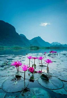 Wild water lily blossomed in a river steam in Suoi Yen, Ha Tay near Ho Noi capital, Vietnam. Morning Lily by Andre Luu. ~Our Beautiful World~ Beautiful World, Beautiful Places, Beautiful Pictures, Amazing Places, Wild Waters, Jolie Photo, Amazing Nature, Mother Earth, Beautiful Landscapes