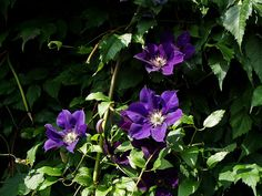 Clematis (pronounced CLEM-uh-tis) Jackmanii - darkest purple of the clematis varieties. Grows in zones 4-8. Rule of thumb for clematis: keep the vine & foliage in the sun, but the root area in the shade.