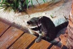 resident friendly raccoons at Hotel Las Nubes de Holbox, Isla Holbox off the coast of Cancun