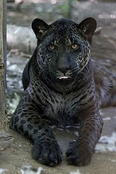 Melanistic jaglion - Melanism is an overabundance of black pigment in animals and is actually the opposite of albinism and even more rare. Rare Animals, Animals And Pets, Funny Animals, Wild Animals, Exotic Animals, Unusual Animals, Black Animals, Unique Cats, Beautiful Cats