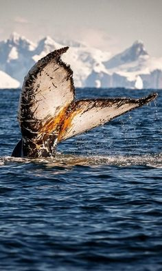 Flukes up!.. Humpback whale showing its fluke prior to diving deep, Antarctica | by David Merron on 500px