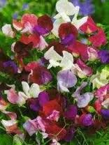 Image result for sweet peas flowers