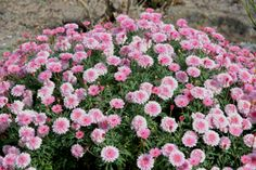 Plant finder search results page Search criteria: genus = Argyranthemum. Marguerite Flower, Fireworks Festival, Sky Lanterns, Late Autumn, Side Garden, Canary Islands, Food Festival, Four Seasons, Shrubs