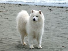 samoyed<3 i think im in love with these dogs