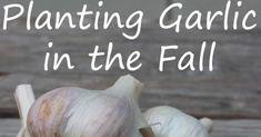 Planting Garlic in the Fall fb