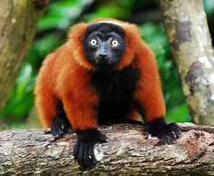 The Red-Ruffed Lemur This exquisitely colored species is critically endangered and part of its habitat in Madagascar has recently been made in to a National Park.