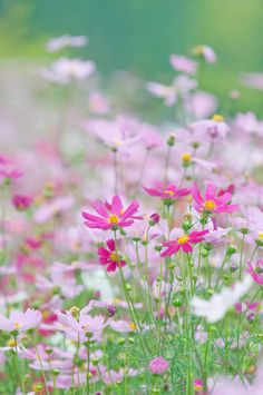 Such a beautiful flower, and not fussy at all-cosmos