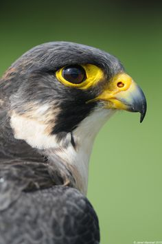 The steely stare of a Peregrine Falcon | by Marsjan