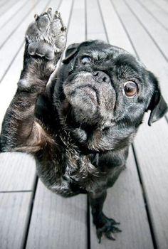 I said no photos! Mop Dog, Dog Cat, Images Of Pugs, Pug Cross, Pug Mug, Black Pug, Pug Love, Doge, Dog Treats