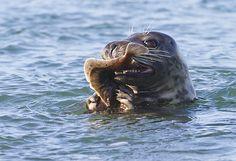 Smullen van een... Fotograaf: sytze-natuurfo Deze Grijze-zeehond heeft geen moeite met een net gevangen schol. Langs de Brouwersdam zie je zowel gewone als grijze zeehonden.