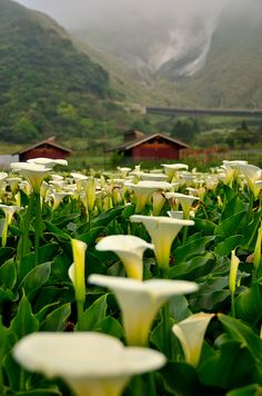Seasons of Calla Lilies -   calla lilies in Jhuzihhu, Taiwan