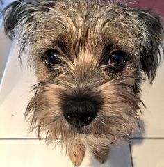 """The Wednesday Edit on Twitter: """"This face isn't helping with the procrastination levels...#cutetho #borderterrier https://t.co/EDg52eeOs8"""""""