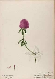 clover 206150 Trifolium pratense L. / Sharp, Helen, Water-color sketches of American plants, especially New England, (1888-1910) [Helen Sharp]
