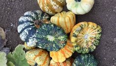 Gourd Harvest Flowers F1 - Bush plants maturing in 65 to 70 days. The bright disc shaped fruits are multi-colored and resemble sunflowers.