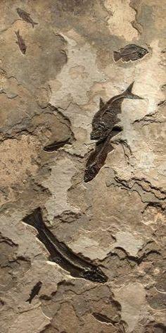 Fossils . Element Earth + Water . Notogoneus, Mioplosus,  Diplomystus,  Priscacara,  Knightia