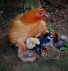 Vegan Animals, Farm Animals, Animals And Pets, Chicken Life, Chicken Chick, Hens And Chicks, Baby Chicks, Gallus Gallus Domesticus, Chicken Pictures