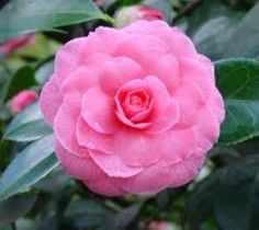 Pink Perfection Camellia Japonica camellia japonica pink perfection A dependable older variety with excellent name recognition that produces medium sized pale pink formal double flowers in mid-season.