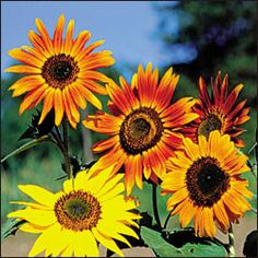 Sunflower, Autumn Beauty Organic Catalog (Helianthus annuus) Multi-headed flowers range from bright yellow to gold to dark burgundy,. Sunflower Garden, Sunflower Seeds, Fall Flowers, Pretty Flowers, Sun Flowers, Kansas State Flower, Planting Sunflowers, Organic Seeds, Seed Packets