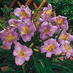 """Purple de Oro DWARF DAYLILY 