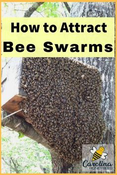 Learn the best ways of attracting swarms to bait hives and swarm traps. This is one of my swarms that I caught in my bait hive! Honey Bee Swarm, Honey Bee Hives, Honey Bees, Bee Hive Plans, Beekeeping For Beginners, Raising Bees, Bee Boxes, Backyard Beekeeping, Save The Bees
