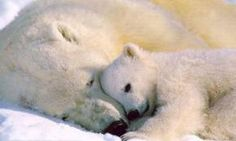A stunning National Geographic image of a polar bear cub, cuddling with it's mama bear becomes an irresistible wall mural. Perfect as a kids mural, or for any nature lover, this polar bear wall art captures a precious moment. Mother And Baby Animals, Cute Baby Animals, Animals And Pets, Funny Animals, Arctic Animals, Wild Animals, Tier Wallpaper, Animal Wallpaper, Baby Wallpaper