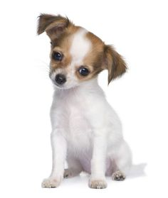 Kinda want a Chihuahua!  He's little and cute!  I bet you he would get along great with my kitties!