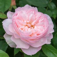 Gentle Hermione – David Austin English Rose – Famous Last Words Pink Roses, Pink Flowers, Pink Petals, Tea Roses, Exotic Flowers, Yellow Roses, Beautiful Roses, Beautiful Flowers, Roses David Austin