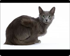 Nebelung, the semi long haired version of the Russian blue. Imagine this marvel of faery perfection emerging from the undergrowth of a damp forest, eyes reflecting the hue of birch leaves and fern.
