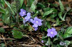 RHS Plant Selector Omphalodes cappadocica AGM / RHS Gardening  Perennial