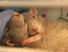 Please cuddle once😚 The Effective Pictures We Offer You About Rodents cage A quality picture can tell you many things. You can find the most beautiful pictures that can be presented to you about Roden Funny Rats, Cute Rats, Cute Hamsters, Cute Little Animals, Cute Funny Animals, Cute Mouse, Rodents, Pet Birds, Animals Beautiful