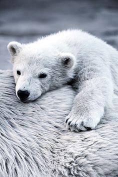 Polar Bear Cub #PolarBear