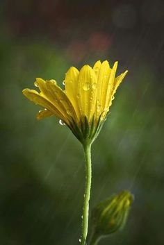 augustfleurs: (via Spring Rain by Rajasekar Alamanda) Its Raining Its Pouring, Rock Flowers, Plants Quotes, Spring Shower, Flowering Trees, Shades Of Yellow, Mellow Yellow, Dream Garden, Pretty Pictures
