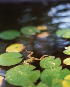 Garden Photo - A frog swimming through a pond with lily pads