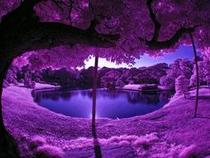 Purple Scenery at a Japanese Garden ♥ Photo: ツ Amazing Facts & Nature ツ Purple Love, All Things Purple, Purple Rain, Shades Of Purple, Purple Trees, Purple Stuff, Purple Flowers, Deep Purple, Purple Thoughts