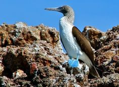 Blue-Footed Boobies Have Stopped Breeding—But Why?