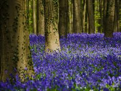 ... photo by by Ulla Jensen ~~Blue carpet treatment~~ Hallerbos, Belgium